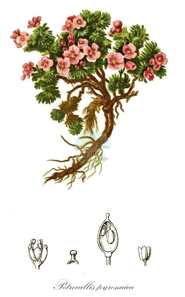 Historical drawing of Petrocallis pyrenaica (Pyrenean Whitlowgrass) | Historical drawing of Petrocallis pyrenaica (Pyrenean Whitlowgrass) showing leaf, flower, fruit, seed