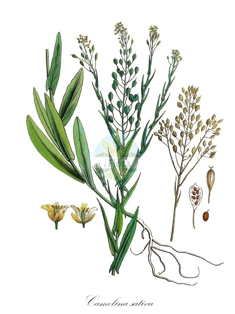 Historical drawing of Camelina sativa (Gold-of-Pleasure) | Historical drawing of Camelina sativa (Gold-of-Pleasure) showing leaf, flower, fruit, seed