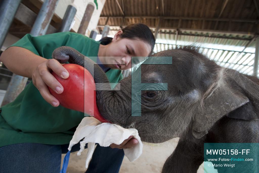 MW05158-FF   Thailand   Lampang   Reportage: Krankenhaus für Elefanten   Tierärztin Cruetong Kayan füttert das Elefantenbaby Dantae mit lauwarmer Ziegenmilch.  ** Feindaten bitte anfragen bei Mario Weigt Photography, info@asia-stories.com **