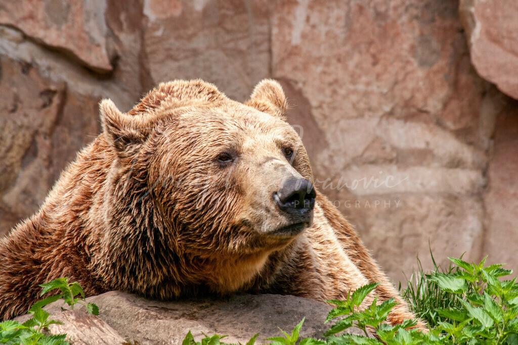 Braunbär | Braunbär im Alpenzoo Innsbruck