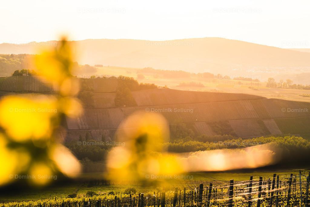 Amafus | Warme Abendstimmung Zwischen Weinreben