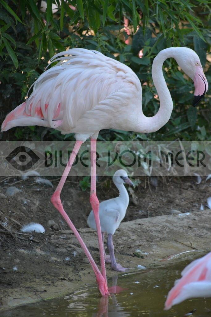 Flamingo Mutter und Baby Bilder | Rosa Flamingo Mutter und Baby Bilder
