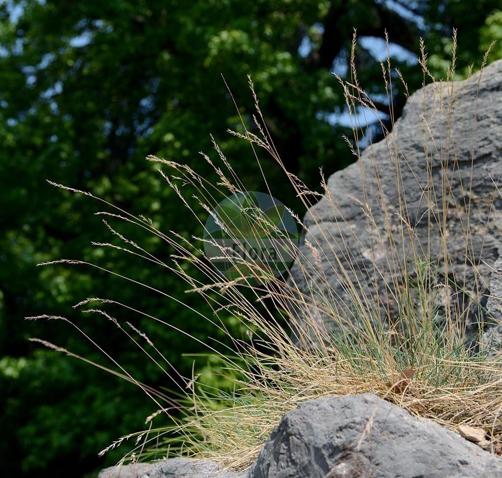 Festuca pallens (Bleicher Schwingel - Pale Fescue) | Foto von Festuca pallens (Bleicher Schwingel - Pale Fescue). Das Foto wurde in Bonn, Nordrhein-Westfalen, Deutschland aufgenommen. ---- Photo of Festuca pallens (Bleicher Schwingel - Pale Fescue).The picture was taken in Bonn, North Rhine-Westphalia, Germany.