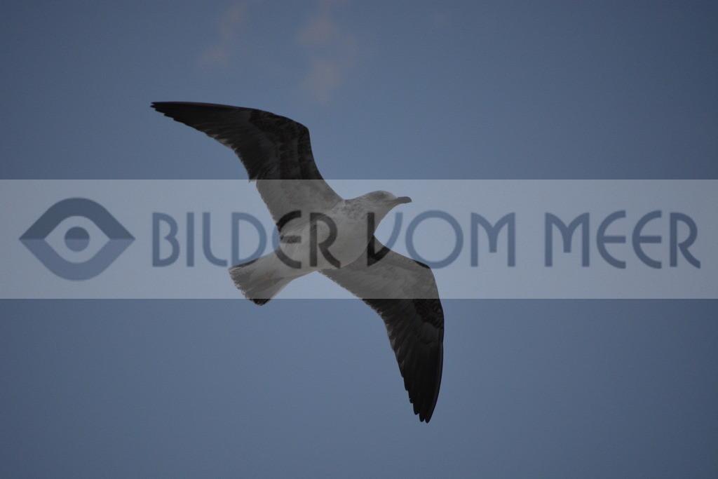 Möwen Bilder | Möwe bei Gleitflug über Tanger