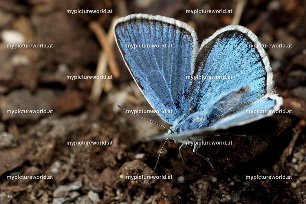 Polyommatus dorylas-003