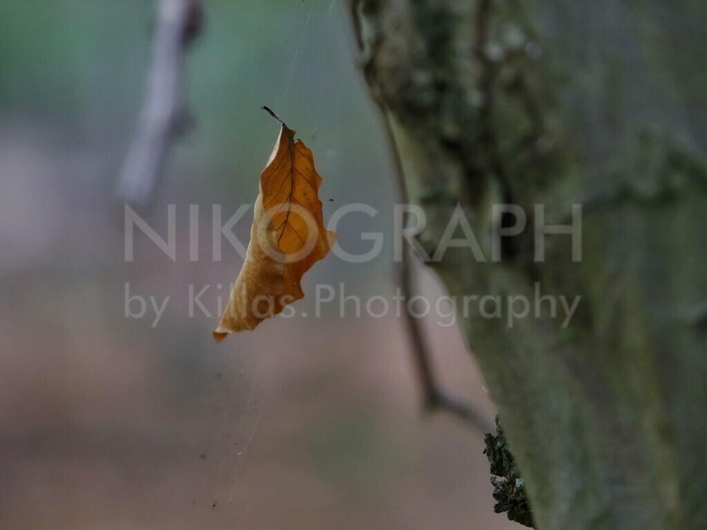 Herbstlaub | Ein herbstlich verfärbtes Blatt hat sich im Spinnennetz verfangen.