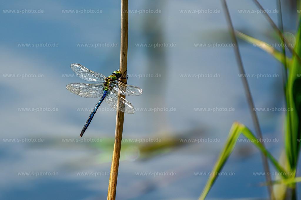 Libelle | Libelle Blaugrüne Mosaikjungfer (Aeshna cyanea)