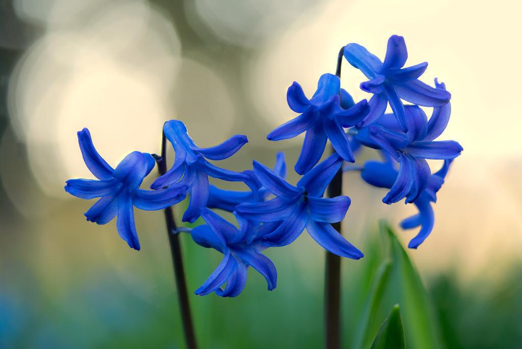 Blaue Hyazinthe - Hyacinthus   Blaue Hyazinthen im Gegenlicht (Hyacinthus).
