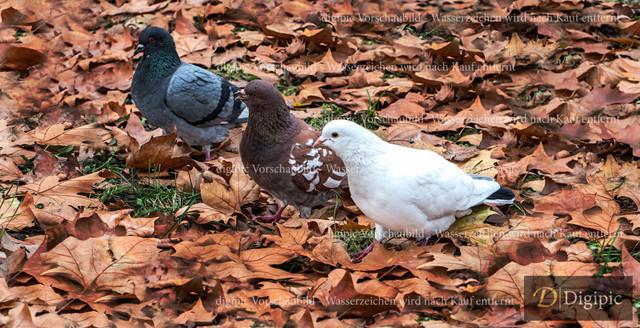 Tauben Drei Farben - Vorschaubild | Tauben in Drei Farben im Herbst