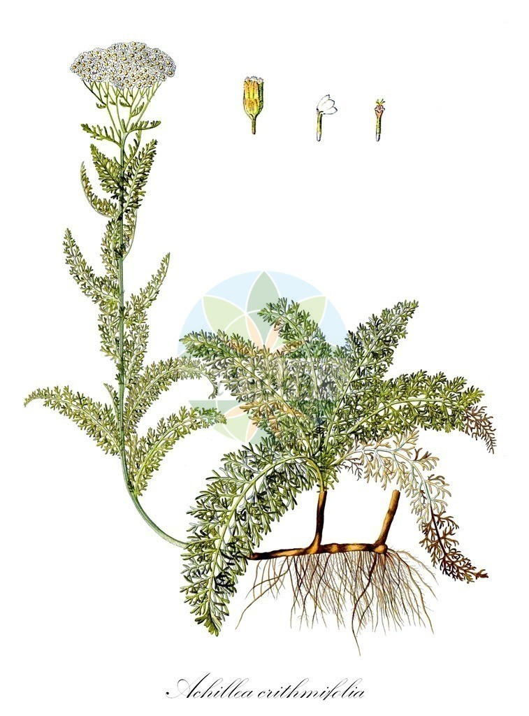 Achillea crithmifolia | Historische Abbildung von Achillea crithmifolia. Das Bild zeigt Blatt, Bluete, Frucht und Same. ---- Historical Drawing of Achillea crithmifolia.The image is showing leaf, flower, fruit and seed.
