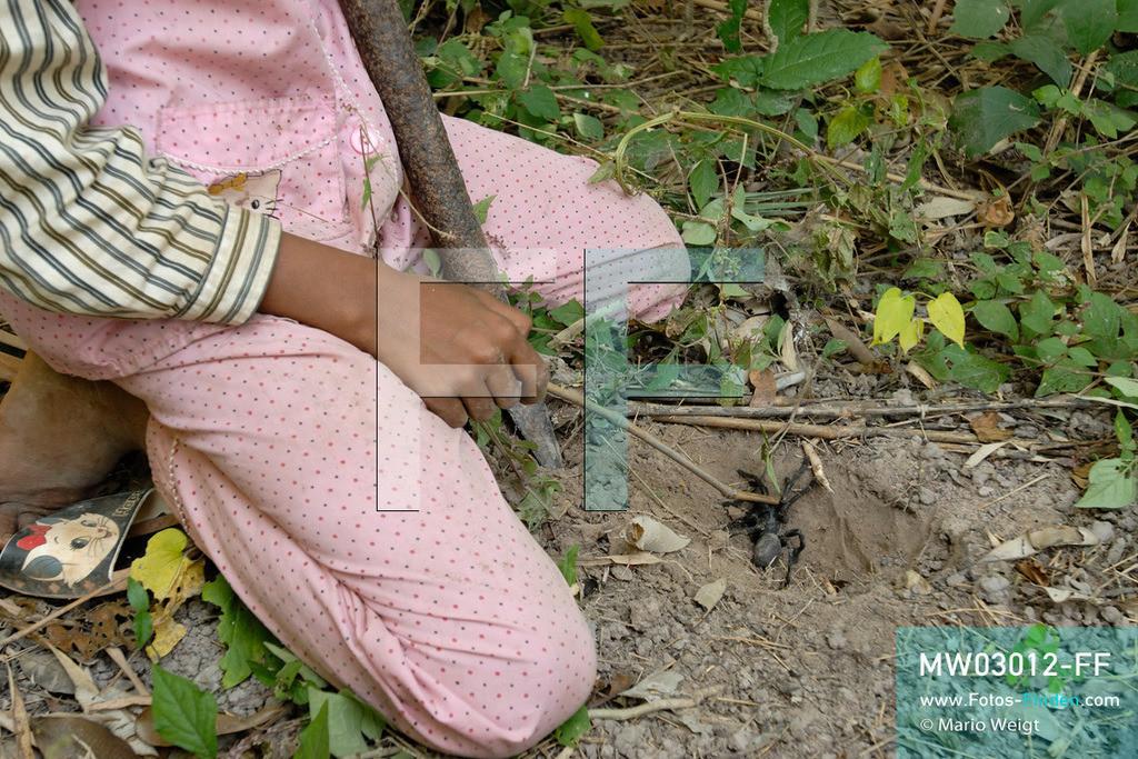 MW03012-FF | Kambodscha | Provinz Kampong Cham | Skoun | Reportage: Phektra verkauft Vogelspinnen | Phektra auf Vogelspinnenjagd. Die 12-jährige Phektra lebt im Dorf Skoun, das für seine schwarzen frittierten Vogelspinnen bekannt ist. Phektra fängt und sammelt die Spinnen im Wald und verkauft die frittierten Achtbeiner an der Bushaltestelle.   ** Feindaten bitte anfragen bei Mario Weigt Photography, info@asia-stories.com **