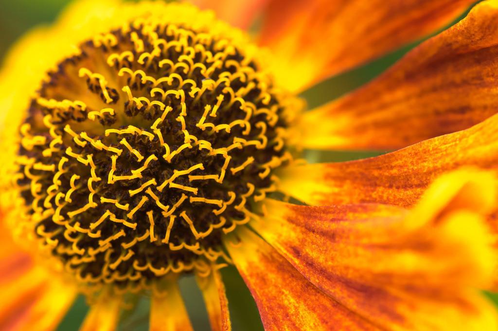 Sonnenbraut - Helenium hybrida | Sonnenbraut (Helenium hybrida).