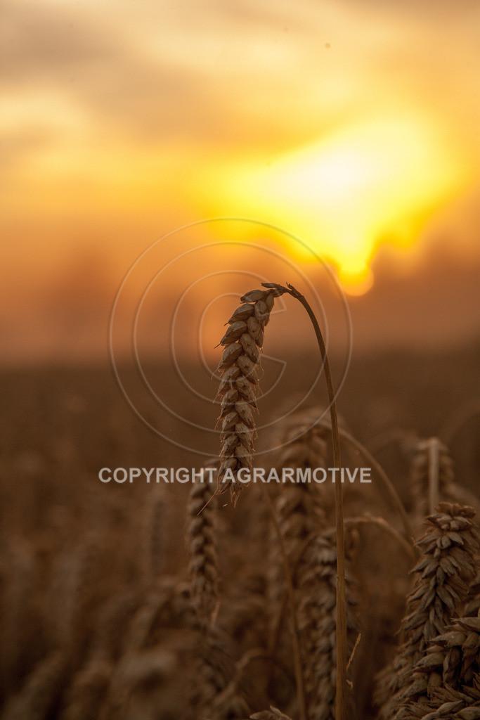 20120817-_MG_8739   Weizenernte in der Dämmerung