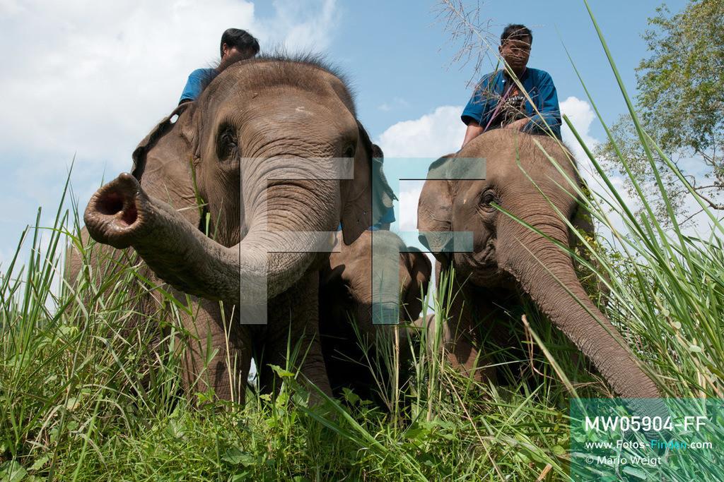 MW05904-FF   Thailand   Goldenes Dreieck   Reportage: Mahut und Elefant - Ein Bündnis fürs Leben   Mahuts auf ihren Elefanten im Dschungel   ** Feindaten bitte anfragen bei Mario Weigt Photography, info@asia-stories.com **