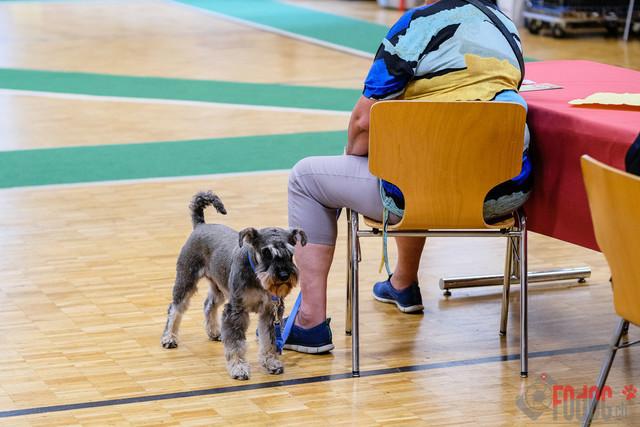 SCSP, CAC Clubschau | Schweizerischer Club für Schnauzer und Pinscher  SCSP, CAC Clubschau  Salzhaus 3380 Wangen an der Aare.  23.06.2019 Foto: Leo Wyden