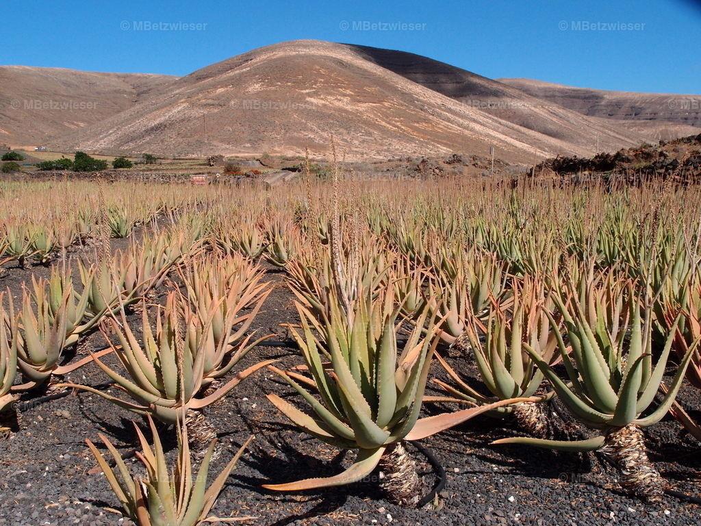 P5040510 | Plantage auf Lanzarote