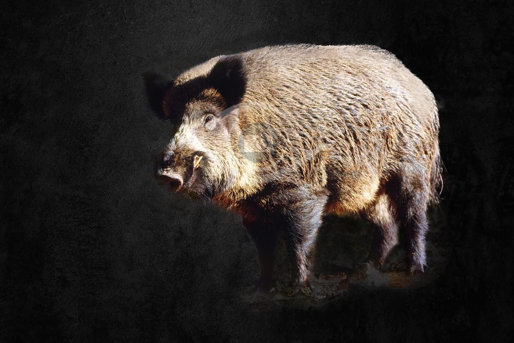 Wildschwein_ Keiler im Odenwald