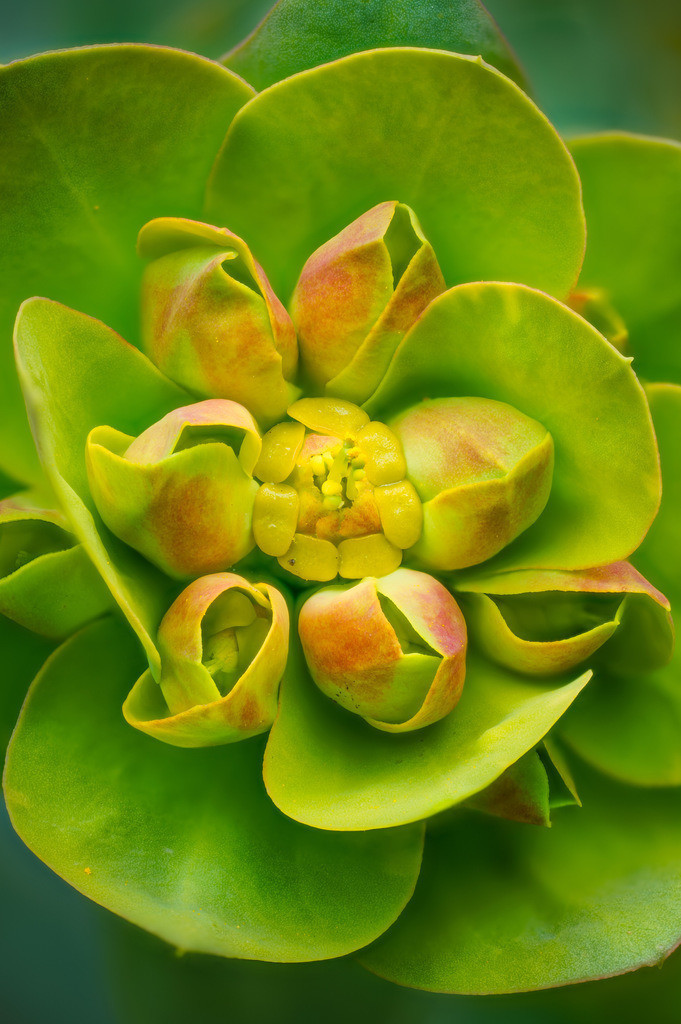 Wolfsmilch - Euphorbia | Wolfsmilch (Euphorbia).