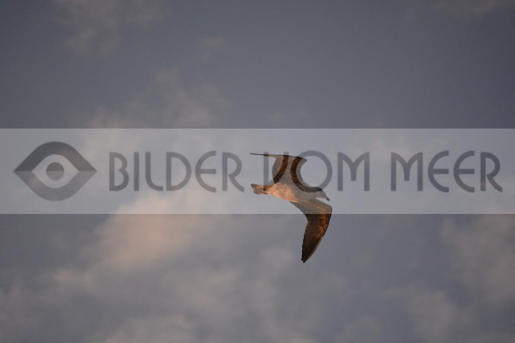 Möwen Bilder | Möwe beim Gleitflug in Tanger