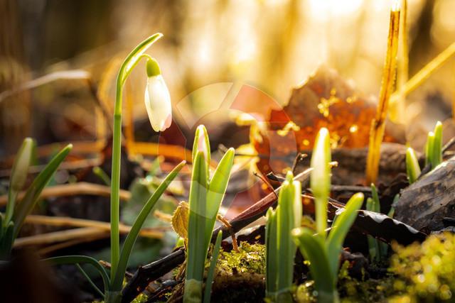 Frühling   Frühlingsbote im zarten Morgenlicht in den Donauauen