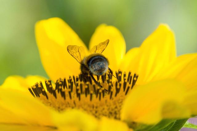 Makroaufnahme Biene auf Sonnenblumenbluete   DEU, Deutschland, Filderstadt, Datum, Makroaufnahme Biene auf Sonnenblumenbluete [© 2018 Christoph Hermann, Bild-Kunst Urheber 707707, Gartenstrasse 25, 70794 Filderstadt, 0711/6365685;   www.hermann-foto-design.de ; Contact: E-Mail ch@hermann-foto-design.de, fon: +49 711 636 56 85]