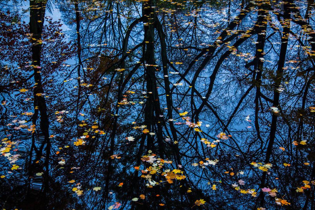 JT-121118-069 | Herbst, bei Regenwetter. Blätter auf der Wasseroberfläche eines Tümpels, in dem sich die kahlen Bäume, am Ufer, spiegeln.