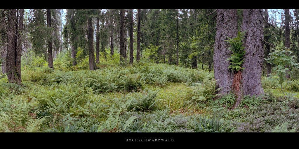 Hochschwarzwald | Nadelwald und Farne im Hochschwarzwald, gelegen im Süden des Schwarzwalds