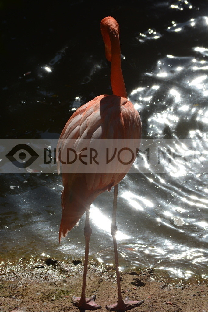 Flamingo Bilder | Roger Flamingo Bilder aus Italien