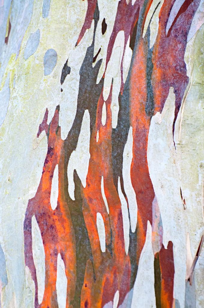 Best. Nr. BäumeGrün14   Farbige Rinde eines Eukalyptusbaums
