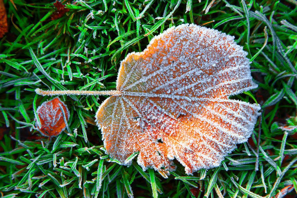 JT-121118-504 | Herbst, Raureif auf verwelkten Blättern, Linde,