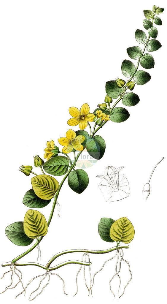 Lysimachia nummularia (Pfennigkraut - Creeping-Jenny) | Historische Abbildung von Lysimachia nummularia (Pfennigkraut - Creeping-Jenny). Das Bild zeigt Blatt, Bluete, Frucht und Same. ---- Historical Drawing of Lysimachia nummularia (Pfennigkraut - Creeping-Jenny).The image is showing leaf, flower, fruit and seed.