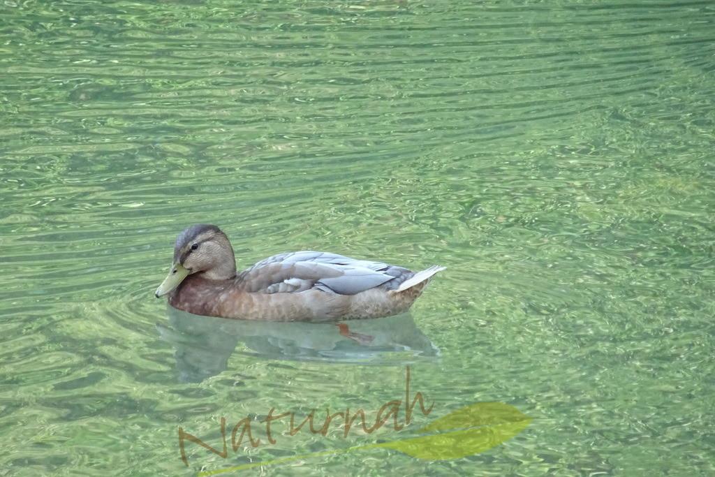 Sanfte Zeit | Die Ente lädt Dich ein, sanft und friedlich auf diesen bezaubernd grünen Wellen dahinzugleiten.