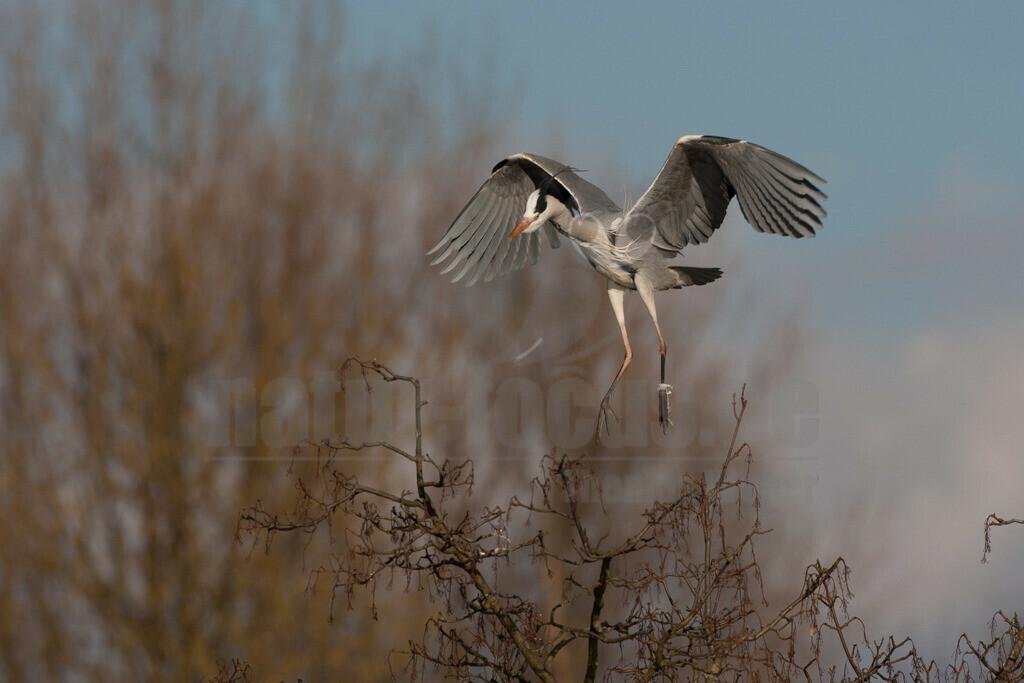 20080314_16370715792 | Der Graureiher ist in etwa 90 cm groß und wiegt zwischen 1000 und 3000 Gramm. Das Gefieder auf Stirn und Oberkopf ist weiß, am Hals grauweiß und auf dem Rücken aschgrau mit weißen Bändern. Er fliegt mit langsamen Flügelschlägen und zurückgezogenem Kopf.