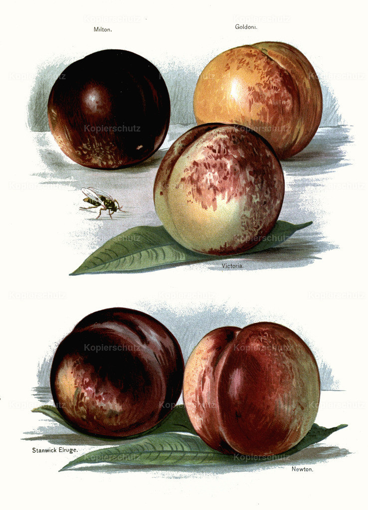 Fruit-Growers-Guide-1890-May-Rivers-Obst-Früchte (23)