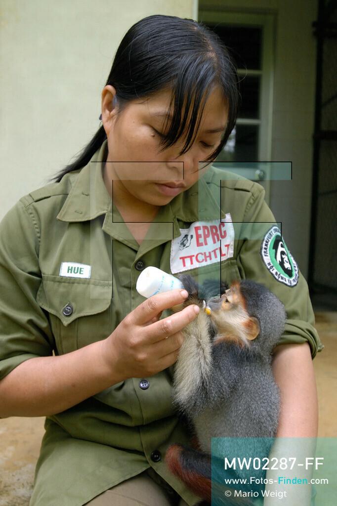 MW02287-FF | Vietnam | Provinz Ninh Binh | Reportage: Endangered Primate Rescue Center | Affenbaby (Rotgeschenkliger Kleideraffe) erhält von einer Tierpflegerin Milch. Der Deutsche Tilo Nadler leitet das Rettungszentrum für gefährdete Primaten im Cuc-Phuong-Nationalpark.   ** Feindaten bitte anfragen bei Mario Weigt Photography, info@asia-stories.com **