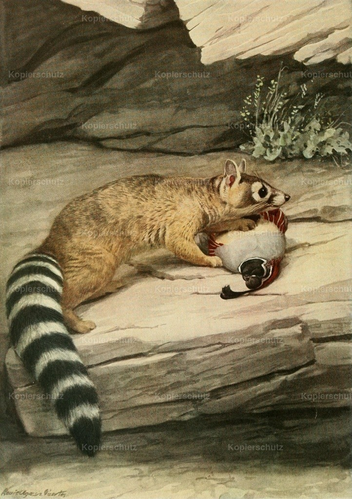 Fuertes_ L.A. (1874-1927) - Wild Animals of N. America 1918 - Ring-tailed Cat