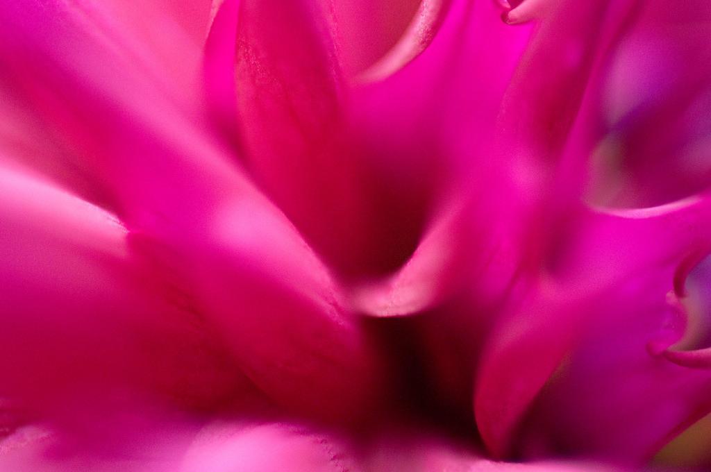Best. Nr. feuer14   Abstraktes Makro-Portrait einer pinkfarbenen Hirschgeweih-Dahlienblüte   Das Element Feuer steht für den Sommer, seine Himmelsrichtung ist der Süden, seine Farben sind kräftige Rot-, Orange- und Purpurtöne. Spitze und dreieckige Formen repräsentieren es am besten. Es steht einerseits mit Lernen, Aktivität und Gestaltung/Design in Verbindung und kann gut überall eingesetzt werden, wo intellektuell gearbeitet wird, also z.B. auch in Büros und im Homeoffice. Andererseits repräsentiert es Herzenswärme, Liebe und Lebensfreude und kann auch im Wohnzimmer eingesetzt werden.