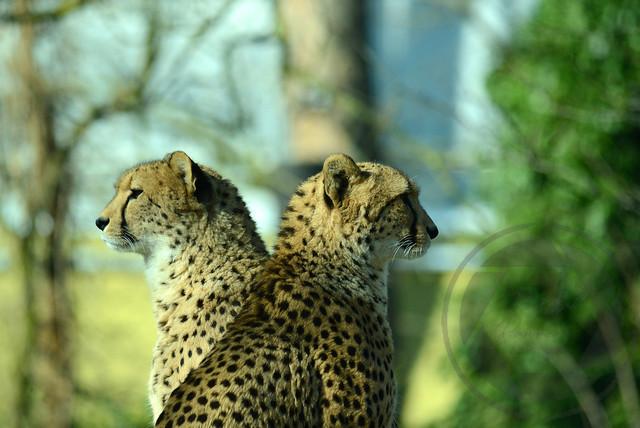 20180218-Koeln-Zoo-Gepard-105