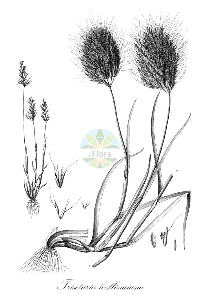 Historical drawing of Trisetaria loeflingiana | Historical drawing of Trisetaria loeflingiana showing leaf, flower, fruit, seed
