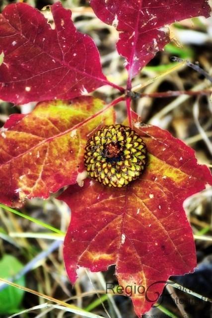 Abstrakte Muster am Waldboden | Die Kappe der Eicheln auf den dunkelroten Blättern formen sich zu einem abstrakten Gebilde