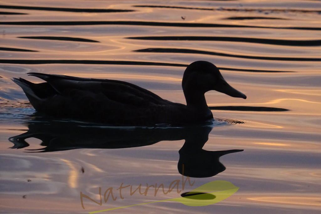 Dämmerung | Silhouette einer Ente im abendlich leuchtenden Wasser.