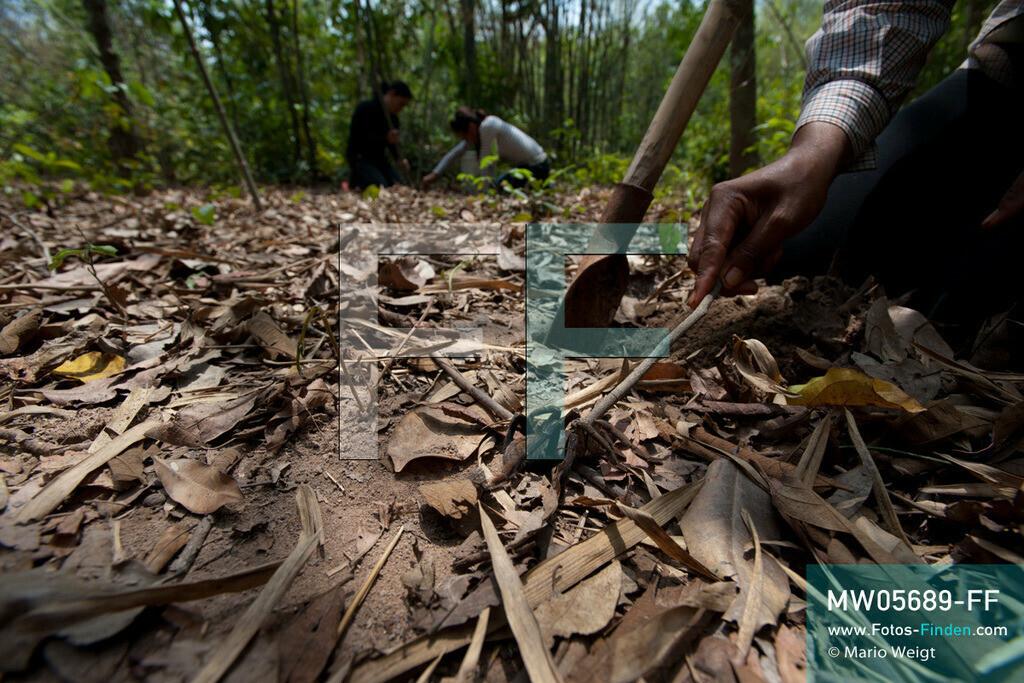 MW05689-FF   Kambodscha   Provinz Kampong Cham   Skoun   Reportage: Kambodschas achtbeiniger Snack   Shin ist mit ihren Freundinnen auf Vogelspinnenjagd. Die Spinnenverkäuferin drückt auf den Rücken der Spinne, um ihre Flucht zu verhintern. Im Hintergrund graben ihre Freundinnen nach der nächsten schwarzen Spinne. In heißem Öl knusprig gebraten, mit Glutamat, Salz und Zucker vermischt und obendrein mit hauchdünnen Knoblauchscheiben verfeinert - so mögen die Kambodschaner ihre schwarzen Vogelspinnen.  ** Feindaten bitte anfragen bei Mario Weigt Photography, info@asia-stories.com **