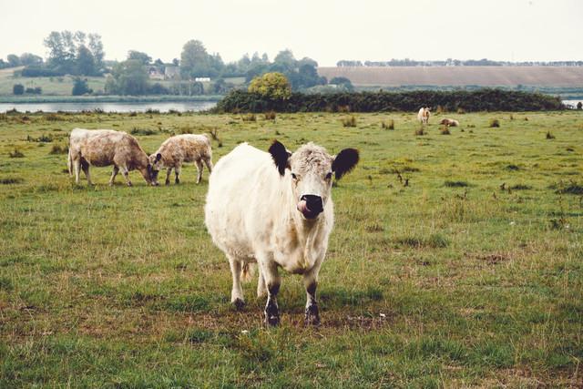 Happy Cow | Kuh auf einer Weide am Vitso See auf der dänischen Südsee-Insel Aeroe