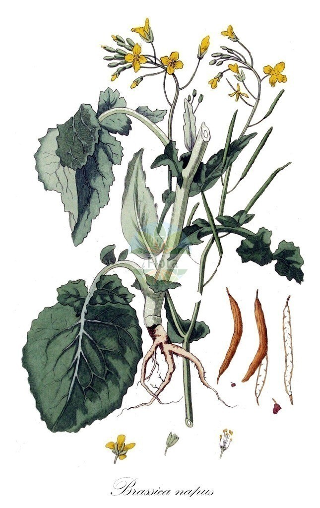 Historical drawing of Brassica napus (Rape)   Historical drawing of Brassica napus (Rape) showing leaf, flower, fruit, seed