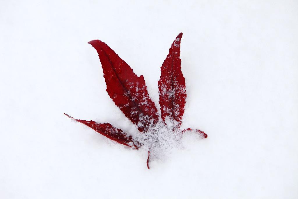 Winter | Verschneite Pflanzen.