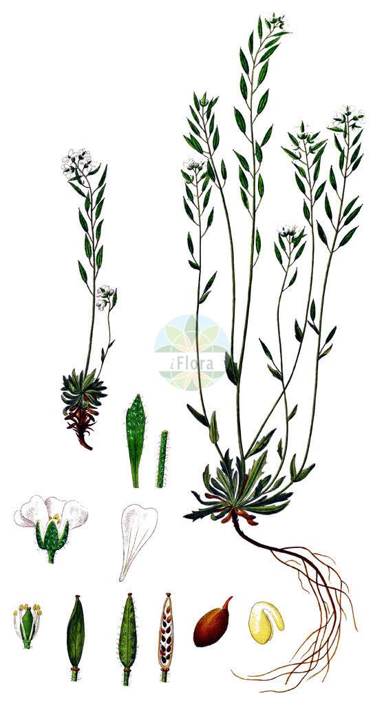 Draba norvegica | Historische Abbildung von Draba norvegica. Das Bild zeigt Blatt, Bluete, Frucht und Same. ---- Historical Drawing of Draba norvegica.The image is showing leaf, flower, fruit and seed.