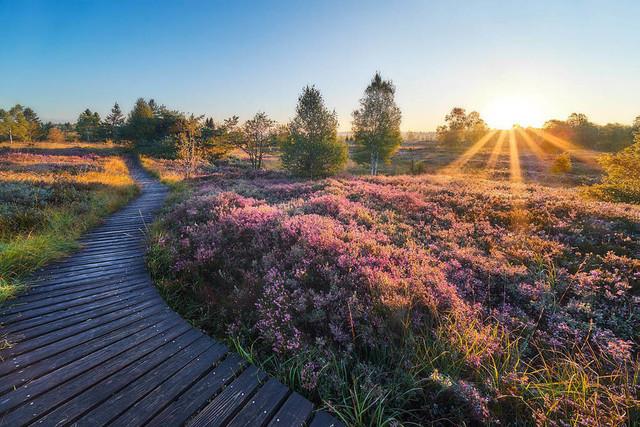Blühende Heide im Venn | Anfang September blüht die Heide im Venn violett. Die ersten Strahlen zum Sonnenuntergang intensivieren die Farben noch weiter. Der Holzsteg im Brackvenn zieht sich wie ein riesiger Wurm durch die feuchte Hochebene.