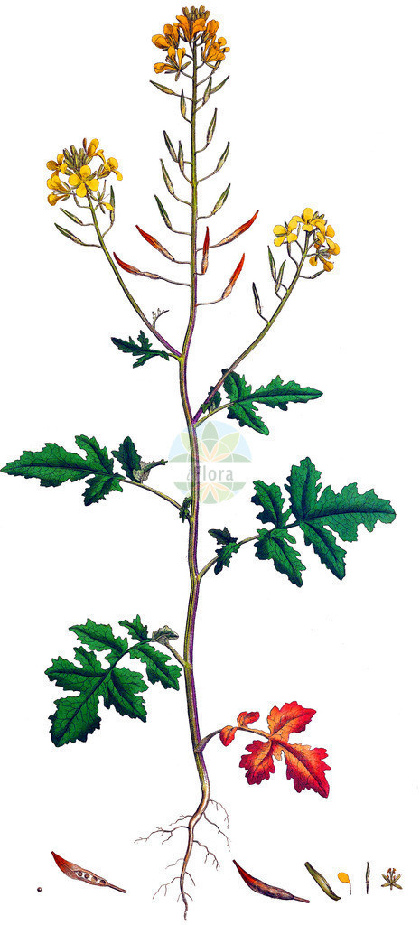 Sinapis alba (Gelber Senf - White Mustard) | Historische Abbildung von Sinapis alba (Gelber Senf - White Mustard). Das Bild zeigt Blatt, Bluete, Frucht und Same. ---- Historical Drawing of Sinapis alba (Gelber Senf - White Mustard).The image is showing leaf, flower, fruit and seed.