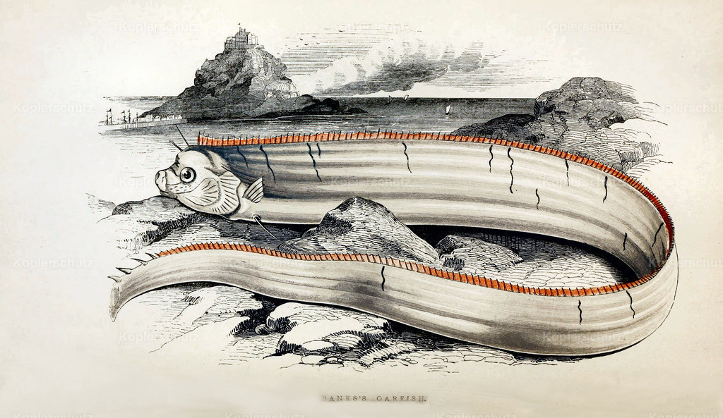 A-History-of-the -Fishes- of- the- British-Islands-Fische-1862-1866 (9)
