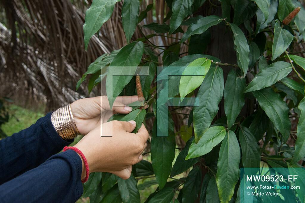 MW09523-FF | Kambodscha | Kampot | Reportage: Pfeffer aus Kampot | Langer Pfeffer (Piper retrofactum) wird in Europa selten als Gewürz verwendet. In der Umgebung von Kampot und Kep gibt es zahlreiche Pfefferplantagen.   ** Feindaten bitte anfragen bei Mario Weigt Photography, info@asia-stories.com **